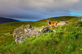 Young deer in the meadow at Scottish highlands — Stock Photo