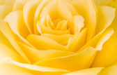 Close detail of a yellow rose flower — Zdjęcie stockowe