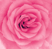 Close-up detail of a pink rose flower — Stock Photo