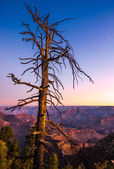 Colorful sunrise at Grand canyon with dry tree foreground — Stock Photo