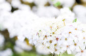 Close up detail of blooming spring tree flower — Stock Photo