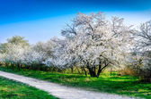 Beautiful blooming spring trees and a road — Stock Photo