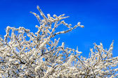 Blooming white spring tree against blue sky — Stockfoto