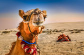 Detail of camel's head with funny expresion — Stock Photo