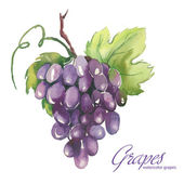 Watercolor illustrations of grapes — Stock Vector
