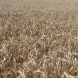 Wheat field — Stock Photo #12122819