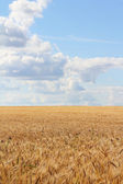 Wheat field under blue sky — Stock Photo