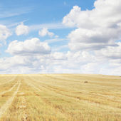 Wheat field after harvesting — Stock Photo