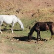 Stock Photo: Andalusian horses on pasture