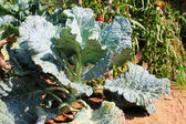Green cabbage — Stock Photo