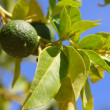 Limes on tree — Stock Photo