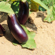 Stock Photo: Eggplant fruits growing in garden