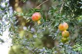 Pomegranate fruit on the tree — Stock Photo