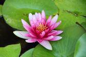 Pink Lotus in water — Stock Photo