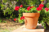 Red flower in pot outdoors — Stock Photo
