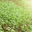 Green seedlings growing out of soil — Stock Photo #23213390