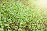 Green seedlings growing out of soil — Stock Photo