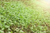 Verdes plántulas creciendo fuera del suelo — Foto de Stock