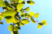 Birch spring foliage — Stock Photo