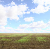 Field with small seedlings — Stock Photo