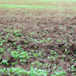 Green seedlings growing out of soil — Stock Photo #31570407