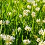 White clover (Trifolium repens) — Stock Photo