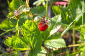 Wild strawberry — Stockfoto