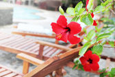 Hibiscus flower blossom — Stock Photo