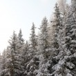 Beautiful forest in winter mountains — Stock Photo