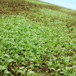 Green seedlings growing out of soil — Stock Photo #39763969