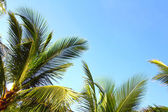 Coconuts palm trees — Stock Photo