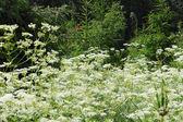 Fleurs blanches en forêt — Photo