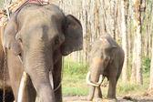 Olifanten op rubberboom plantage — Stockfoto