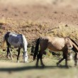 Andalusian horses on pasture — Stock Photo