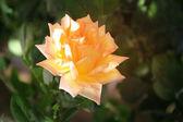 Růžové a žluté růže v zahradě — Stock fotografie