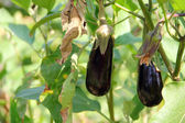 Eggplant fruits growing in the garden — Stock Photo