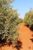 Olive trees in garden — Stock Photo