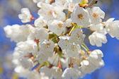 Pommiers en fleurs au printemps — Photo