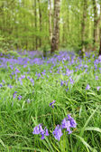 Bluebell flowers in spring forest — Stock Photo