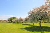 Apple trees on golf course — Stock Photo