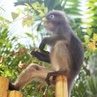 Monkey eating leaves — Stock Photo #46388679