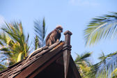 Monkey on roof — Stock fotografie