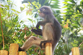Monkey eating leaves — Stockfoto