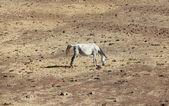 Cavalo andaluz em pastagem — Fotografia Stock