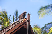 Monkey on roof — Stock Photo