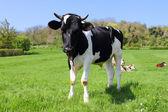 Cows on green field — ストック写真