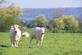 Normandy cows on pasture — Stock Photo