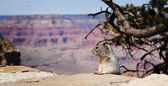 Squirel at Grand Canyon — Stock Photo