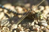 Gros plan de libellule — Photo