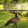 Stock Photo: Canada goose